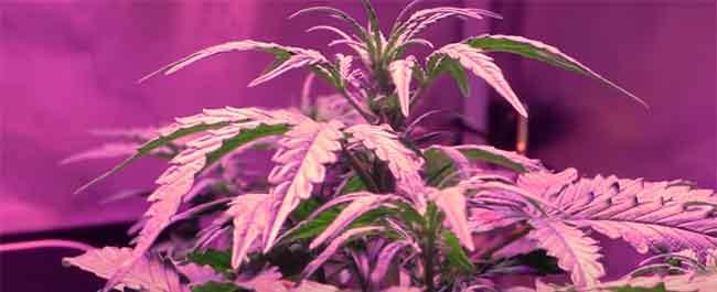 marihuanas-Aire-y-riego-de-Northern-Lights